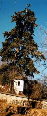 pine_of_tsar_dusan