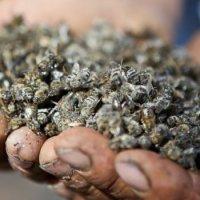 Хиљаде мртвих пчела након сунцокретове испаше: Пчелари сумњају да су их убиле ГМО биљке